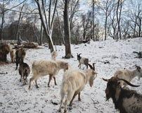 Ziegen und Schafe in der Weide am Winterabend Stockfotos