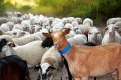 Ziegen und Schafe leben im Freienspurnatur der Menge in Herden Lizenzfreie Stockfotos