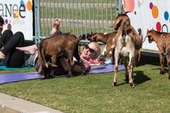 Ziegen-Versammlung um die Frau, die Ziegen-Yoga-Klasse an der im Freien ausdehnt stockbild