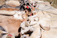 Ziegen von Nomaden an Korzok-Dorf nahe Tsomoriri See, Ladakh, Indien lizenzfreies stockbild