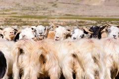 Ziegen von Nomaden an Korzok-Dorf nahe Tsomoriri See, Ladakh, Indien stockfotografie