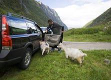 Ziegen von Norwegen und von Auto. Stockbild