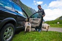 Ziegen von Norwegen und von Auto Stockbild
