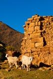 Ziegen vor einer Backsteinmauer Stockbild
