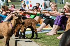 Ziegen wandern unter den Leuten, die in Ziegen-Yoga-Klasse im Freien ausdehnen stockfoto