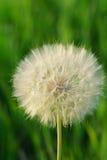 Ziegenbartblume Stockfotos