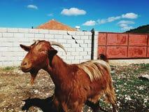 Ziegenfarbe von trunch stockfoto