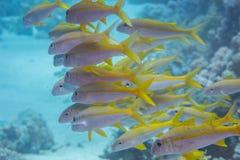 Ziegenfische Stockfotos