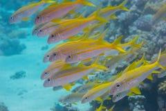 Ziegenfische Stockbilder