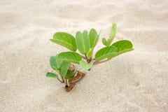 Ziegenfußkriechpflanze mit Blume auf Strand Lizenzfreies Stockbild