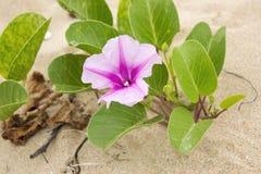 Ziegenfußkriechpflanze mit Blume auf Strand Lizenzfreie Stockfotos