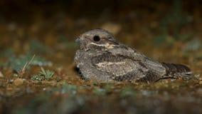Ziegenmelker Caprimulgus europaeus Stockbild