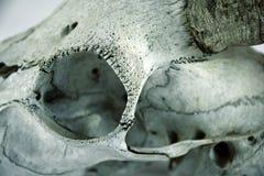 Ziegenschädeldetail Stockfotos