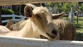 Ziegentiere des lustigen Gesichtes der Ziegenbraunziege kleine lizenzfreie stockbilder