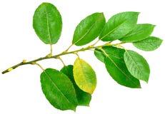 Ziegeweide (Salix caprea) Stockfotos