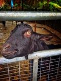 Ziehen Sie die Ziege am Bauernhof ein Stockfotos