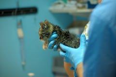 Ziek katje op inspectie door een dierenarts Stock Afbeelding