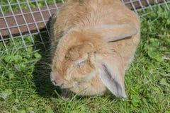 Ziek konijn met myxomatose royalty-vrije stock afbeeldingen