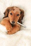 Ziek puppy Stock Fotografie