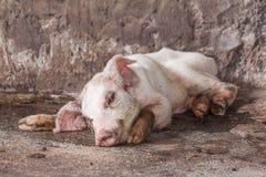 Ziek varken in landbouwbedrijf stock fotografie