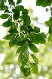 Zieke bladeren Royalty-vrije Stock Afbeeldingen