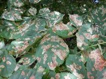 Zieke bladeren op boom Royalty-vrije Stock Foto