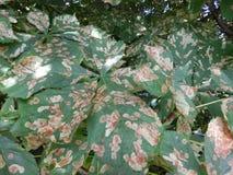 Zieke bladeren op boom Stock Foto