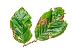 Zieke bladeren van Fagus-sylvatica Stock Afbeelding