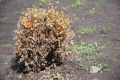 Zieke bukshoutbuxus De takjes en de bladeren van Bukshout worden geel wegens de het zuigen schade stock foto