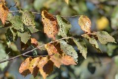 Zieke de herfstbladeren Royalty-vrije Stock Afbeeldingen