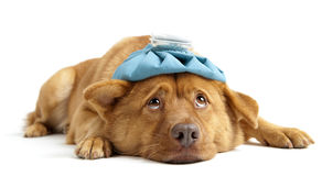 Zieke Hond Royalty-vrije Stock Afbeelding