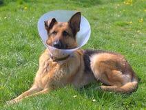 Zieke hond royalty-vrije stock afbeeldingen