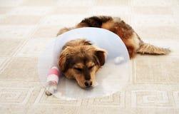 Zieke hond Stock Foto's