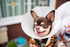 Zieke hond, Chihuahua Stock Afbeeldingen