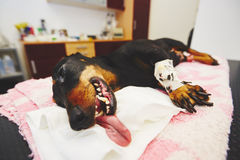 Zieke hond in de veterinaire kliniek stock foto's