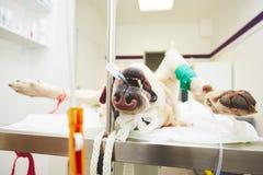 Zieke hond in de veterinaire kliniek stock fotografie
