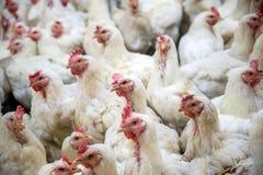Zieke kip of Droevige kip in landbouwbedrijf, Epidemie, vogelgriep stock foto's