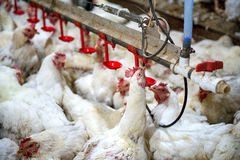 Zieke kip of Droevige kip in landbouwbedrijf, Epidemie, vogelgriep stock afbeelding