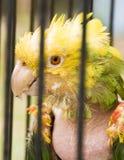 Zieke papegaai Stock Foto