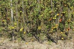 Zieke tomaten in de tuin, de groenten besmet met recente vloek royalty-vrije stock afbeelding