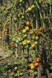 Zieke tomaten in de tuin, de groenten besmet met recente vloek stock fotografie