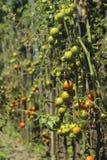 Zieke tomaten in de tuin, de groenten besmet met recente vloek, stock foto's
