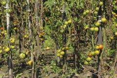 Zieke tomaten in de tuin, de groenten besmet met recente vloek royalty-vrije stock foto