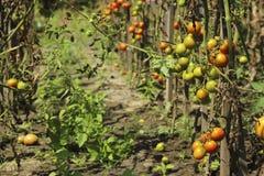 Zieke tomaten in de tuin, de groenten besmet met recente vloek royalty-vrije stock foto's