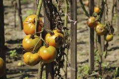 Zieke tomaten in de tuin, de groenten besmet met recente vloek stock afbeelding
