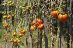 Zieke tomaten in de tuin, de groenten besmet met recente vloek stock foto's