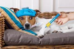 Zieke zieke hond met koorts Stock Foto