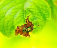 Ziekte van fruitbomen Royalty-vrije Stock Afbeeldingen