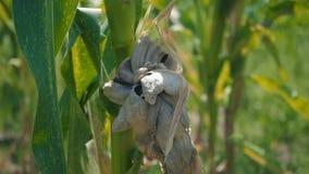 Ziekte van graanbladeren, beschadigd gebied op de zoete maïssteel stock video