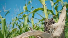 Ziekte van graanbladeren, beschadigd gebied op de zoete maïssteel stock videobeelden